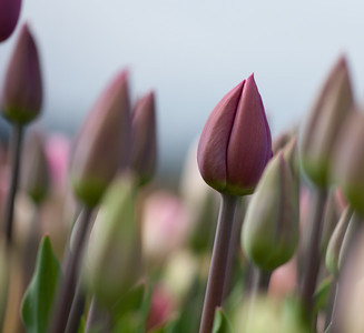 Leaning Tulips