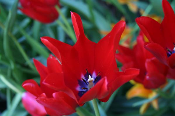 Tulip Festival - West Side Community Garden