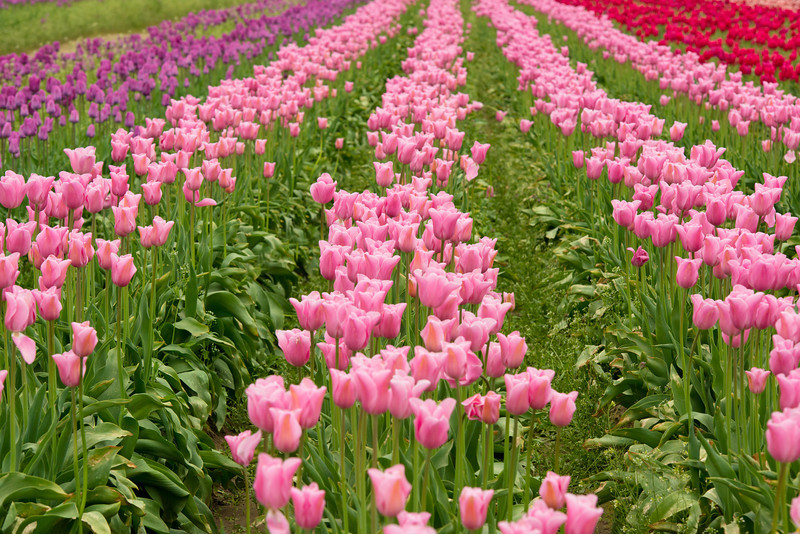 rows-of-tulips-wooden-shoe
