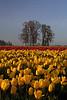 April 11, 2008, Sunrise among the tulips