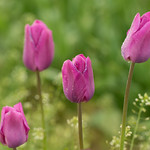Pink-Tulips-Wooden-Shoe-Tulip-Festival_D8X0267