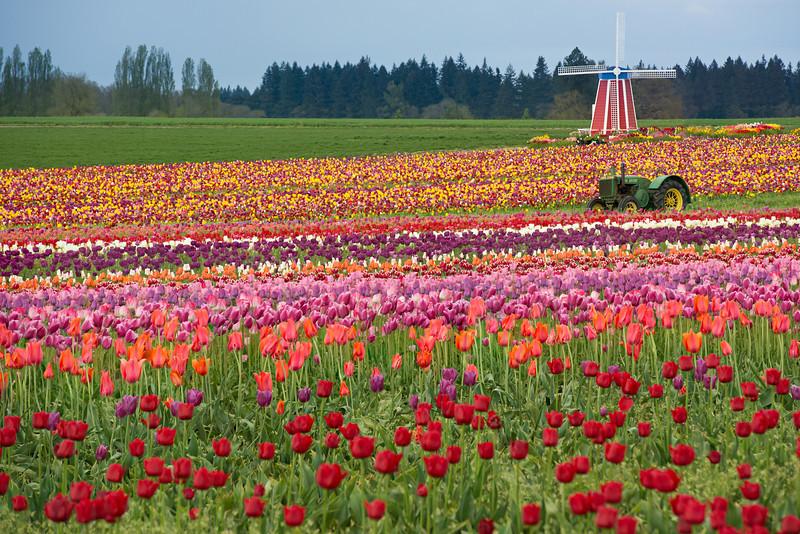 Tulip_Farm_Windmill_Tractor_Wooden_shoe_Tulip_Festival_D8X0301
