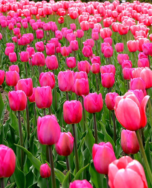 Tulip Festival  郁金香节