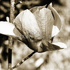 Metal Art Tulip Tree Bloom 1806.204