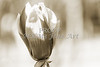 Tulip Tree Canvas Print Bloom 1806.212