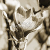 Tulip Tree Bloom Flower Art 1806.203