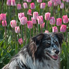 The Hound of Tulipville