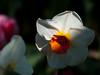 A rare non-tulip