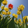 But, tulips are the main attraction!