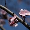 Crabapple blossums
