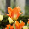 Des Moines Tulip