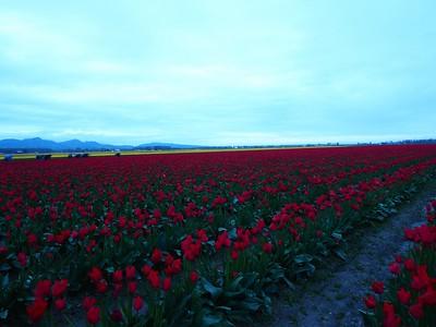 Tulips, 2016