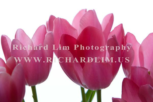 Tulips & Amaryllis