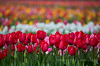 Rows of Color  Hooray -- the tulips are blooming!  Also in the Tulips, Daffodils & Crocuses gallery