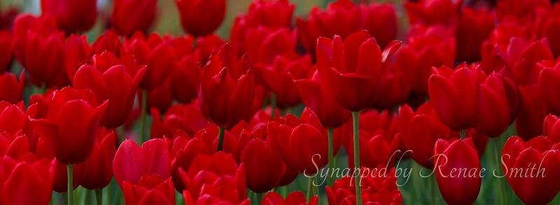 Tulip Aria