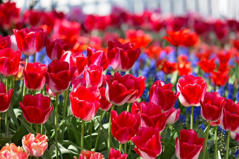 Riotous Tulips
