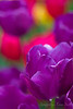 Purple on Red 3
