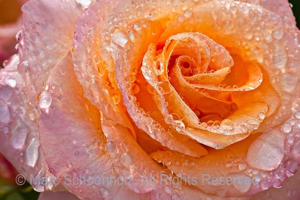 Floribunda Rose; Rosa; Day Breaker Rose, Photographed at: New York Botanical Gardens, New York, NY. June, 2009  ©2009 Marc Schoenholz  Exposure and Camera Info Camera:  Canon EOS 40D Lens: 180  Shutter Speed: 1/30,  Aperture: 16 ISO Setting: 200