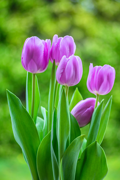 Purple-Tulips-Spring-Purple-Flowers-Art-Consultant-Fine-Art-Photograpy-Healthcare-Fine_Art