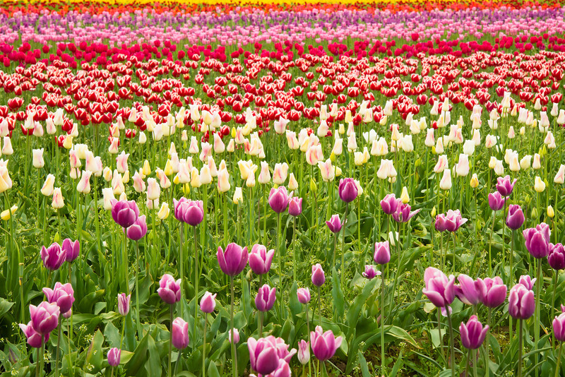 Lots-of-Tulips-Wooden-Shoe-Tulip-Festival-Woodburn-Oregon_D8X0246 copy