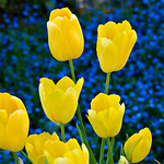 yellow and blue tulips web