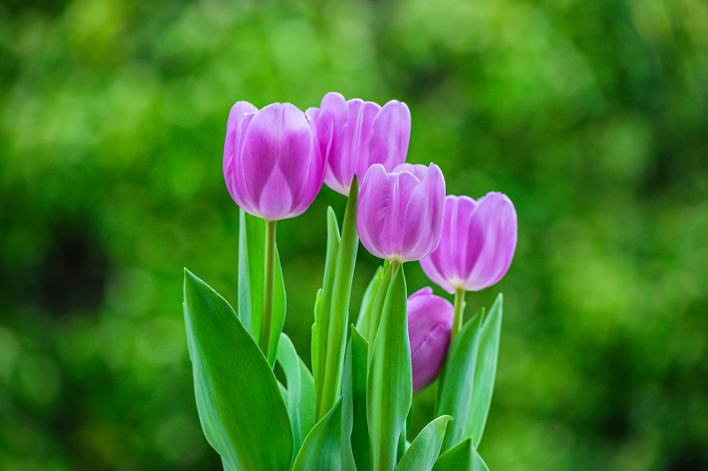 Purple Tulips in Spring