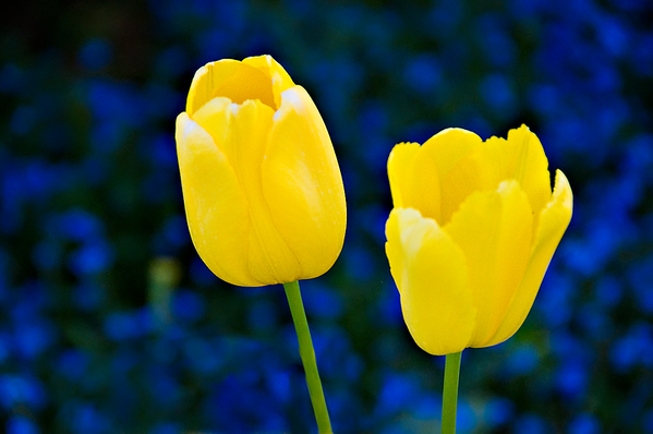 Yellow Tulips and Blue web