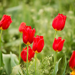Red-Tulips_at_Wooden_Shoe_Tulip_Festival_Woodburn-Oregon-D8X0240