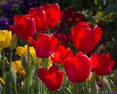 Tulips at SFO Pier 37