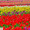 Wooden Shoe Tulip Farm - Tulip Festival - Woodburn, Oregon - 122
