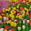 Wooden Shoe Tulip Farm - Tulip Festival - Woodburn, Oregon - 95