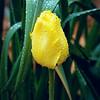Yellow tulip in the Rain