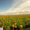 Tulip fields near Woodbury, Oregon