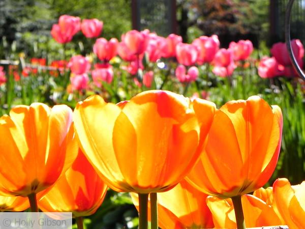 Glowing orange tulips and pink tulips - 55