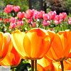 Glowing orange tulips and pink tulips - 55