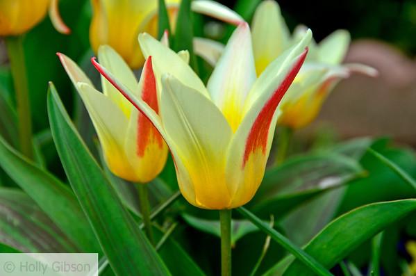 star tulips - 92