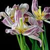 Flock of Senescent Tulips