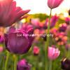 Tulip Fantasy Dark