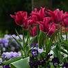 Pink tulips and pansies - 78