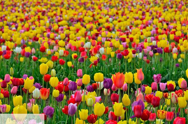 Wooden Shoe Tulip Farm - Tulip Festival - Woodburn, Oregon - 97