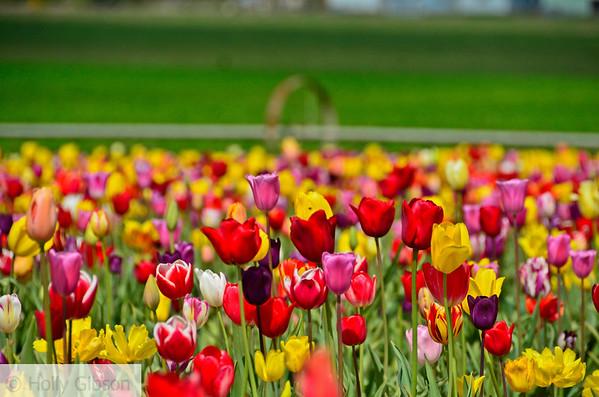 Wooden Shoe Tulip Farm - Tulip Festival - Woodburn, Oregon - 104
