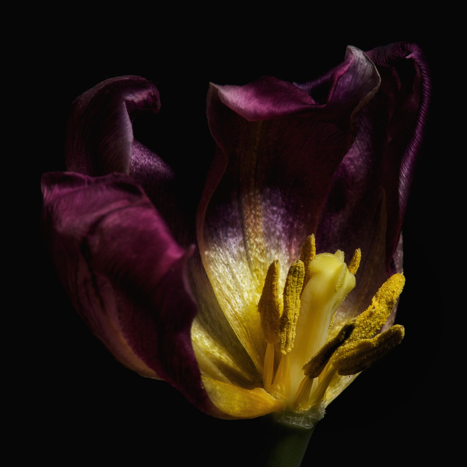 Tulips_2012-07-11_21-19-09__DSC2545_©RichardLaing(2012)
