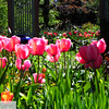 Pink tulips - 53