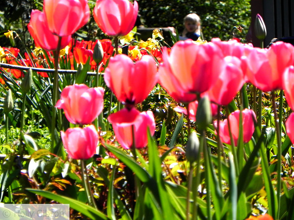 Pink tulips and little girl - 52