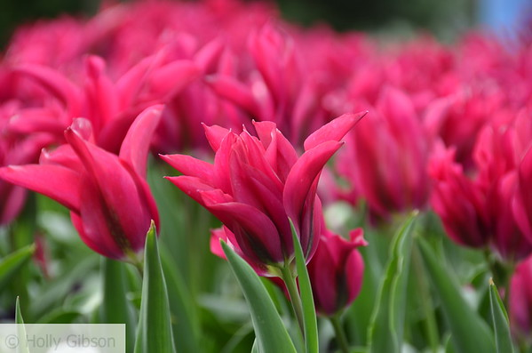 Pink tulips - 77