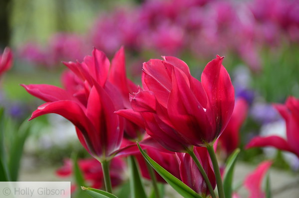Pink tulips - 79