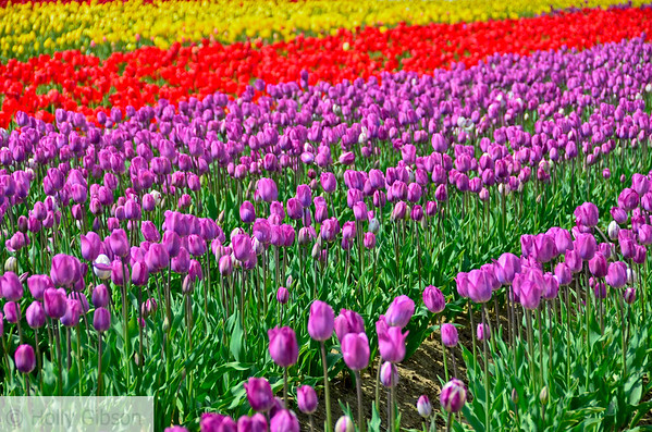 Wooden Shoe Tulip Farm - Tulip Festival - Woodburn, Oregon - 117