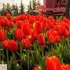 Tulip fields near Woodburn, Oregon - 134