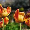 Tulips in Toronto