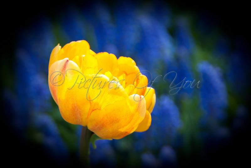 Cretaceous tulip